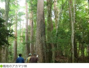 梅地のアカマツ林