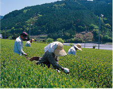 茶摘み風景