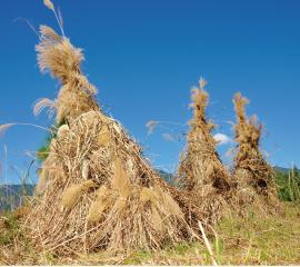 世界農業遺産「静岡の茶草場農法」01
