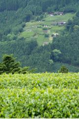 世界農業遺産「静岡の茶草場農法」02