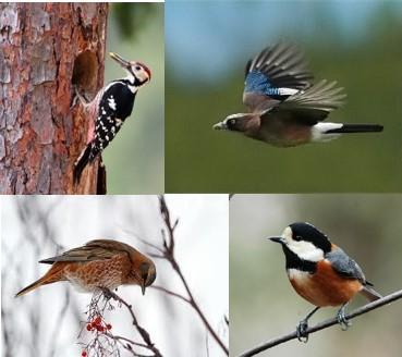 大札山でみられる鳥