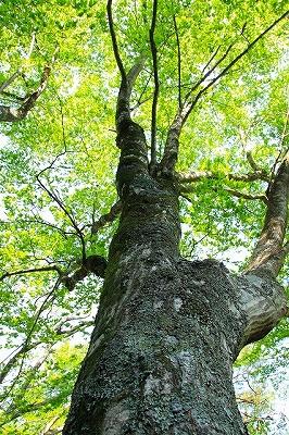 s-グリーンシャワーの木
